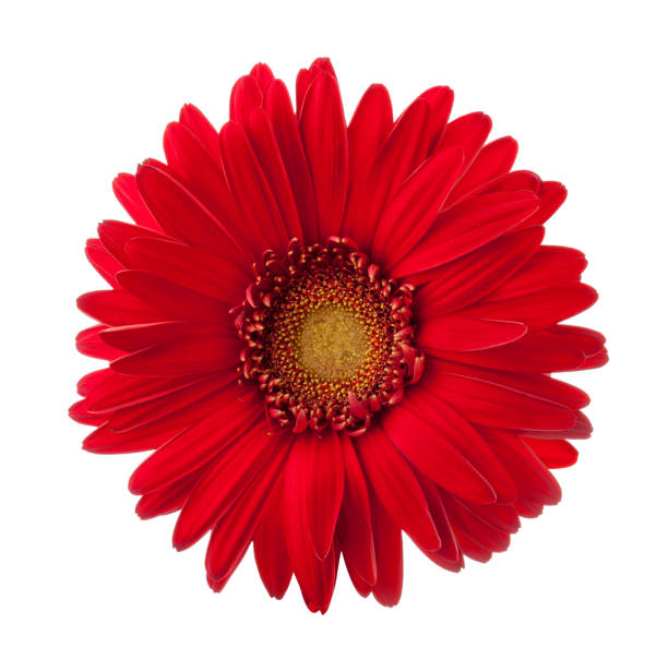 Bright red gerbera flower isolated on white background picture id916989044?b=1&k=6&m=916989044&s=612x612&w=0&h=azc2jrvn4ua2p vru7vf98mbz6hmivhfloediaghww4=