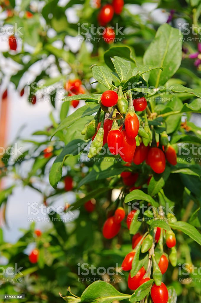 Bright red goji berries in bloom stock photo