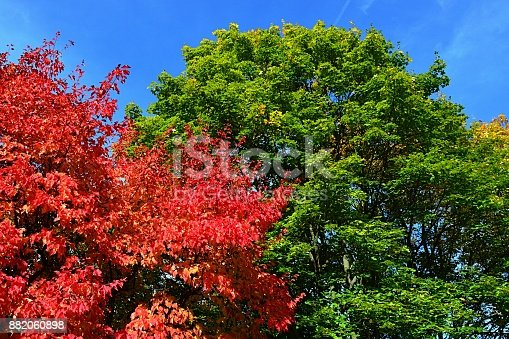 istock Bright red, green, and yellow coloured leaves on maple trees crowns Acer genus during autumn season in botanic garden, blue skies as background 882060898