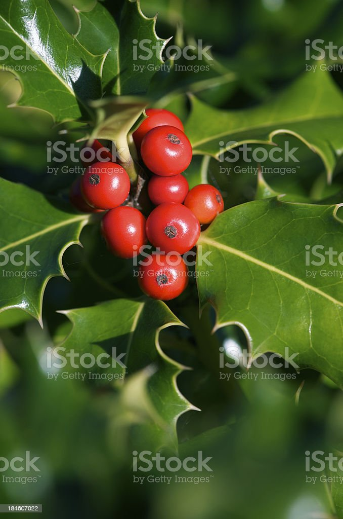 Bright Red Holly Berries and Green Leaves royalty-free stock photo