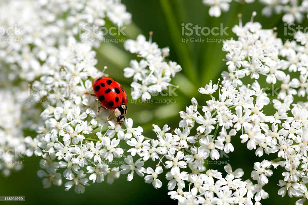 Bright red ladybug sitting on delicate white flowers royalty-free stock photo