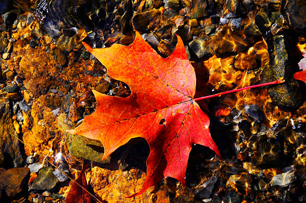 Bright red leaf floating in clear water stock photo