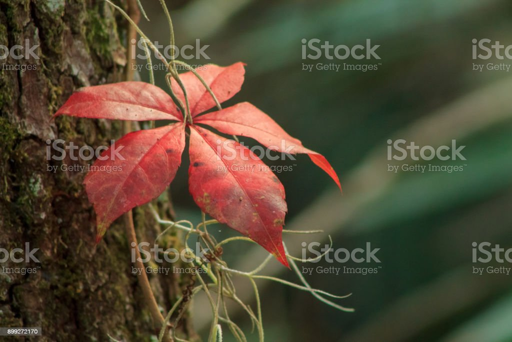 Bright Red Leaf stock photo