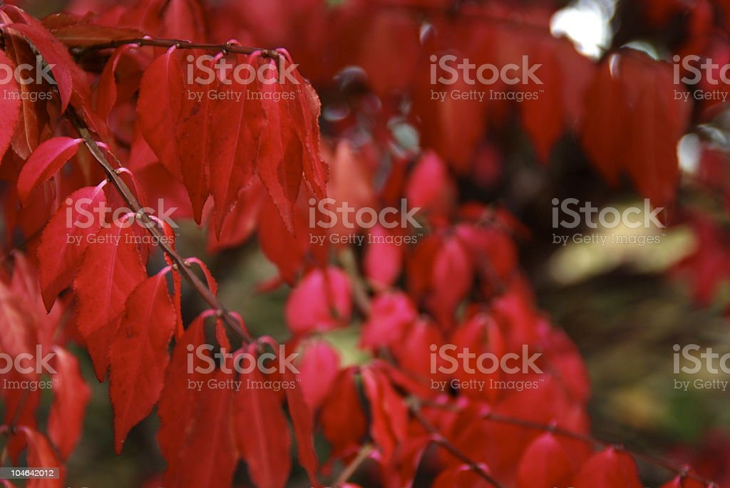 Bright Red Leaves of a Burning Bush royalty-free stock photo