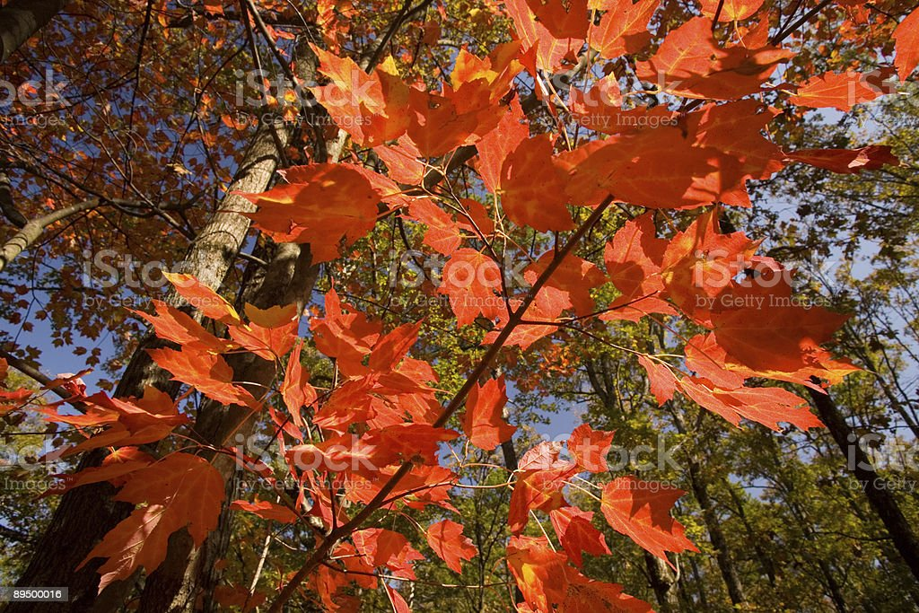 Bright Red Leaves royalty free stockfoto