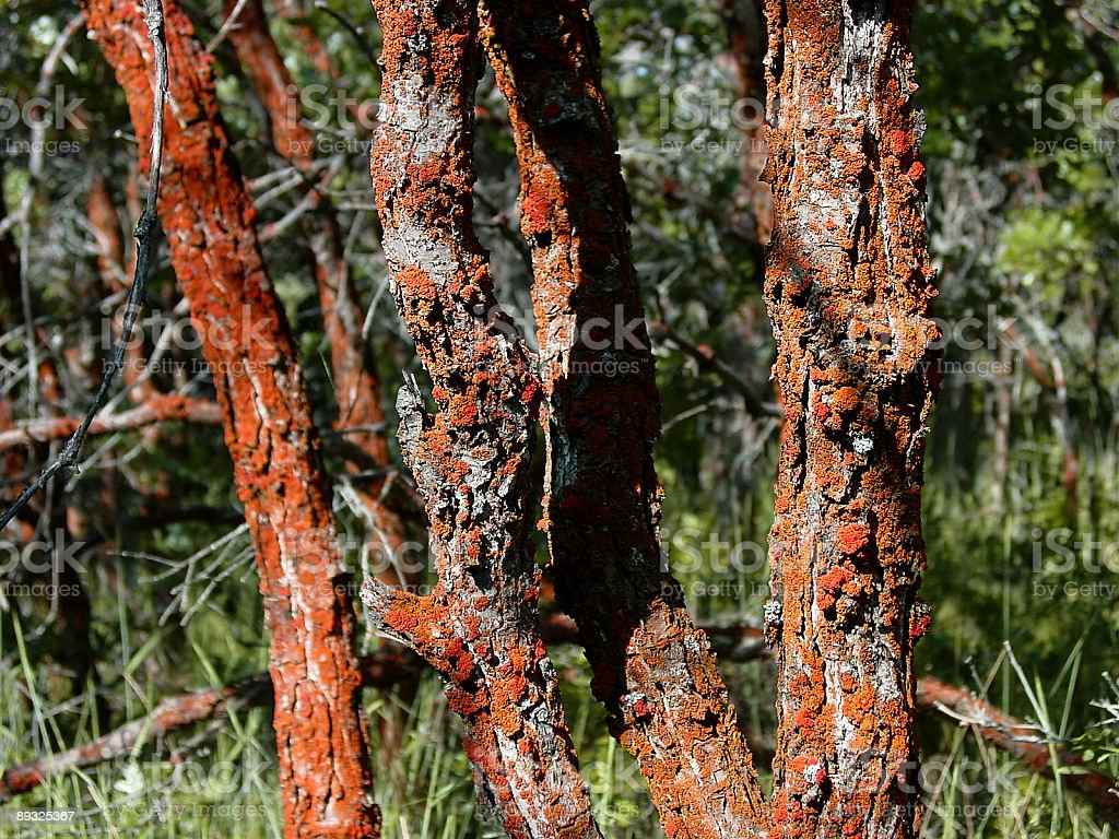 Bright red lichens on scrub oak trees. royalty-free stock photo