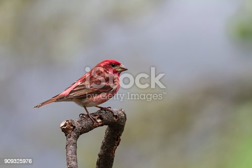 A bright red male Purple Finch waiting for his turn at the feeding station.