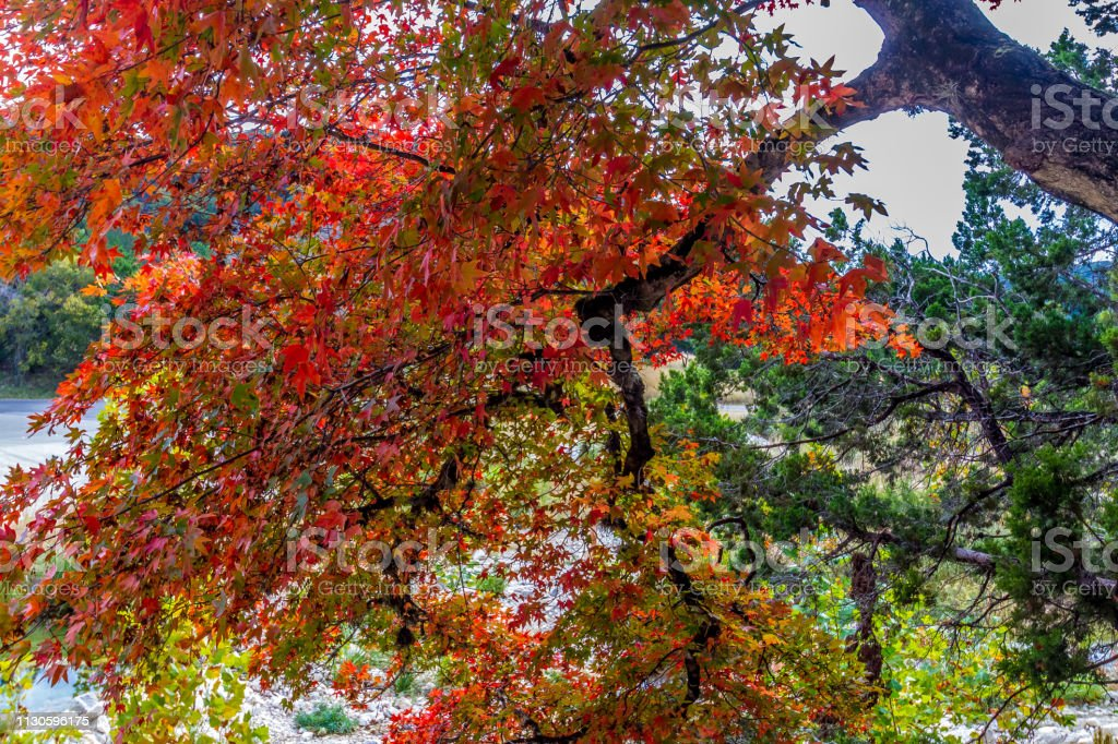Interesting View of Brilliant Bright Red Foliage on a Maple Tree in...