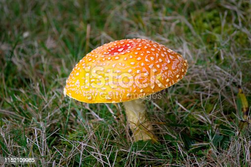 Bright  Red Orange and Yellow  Fly Agaric (Amanita muscaria) Mushroom Growing in the grass in the lawn. Often referred to as a Toadstool. Orange cap with white spots and a white stem