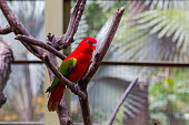A bright red parrot with green wings on a dry tree branch. Malaysia