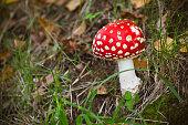 Bright red poisonous mushroom Amanita muscaria