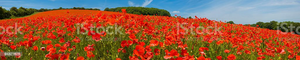 Bright red poppies close up royalty-free stock photo