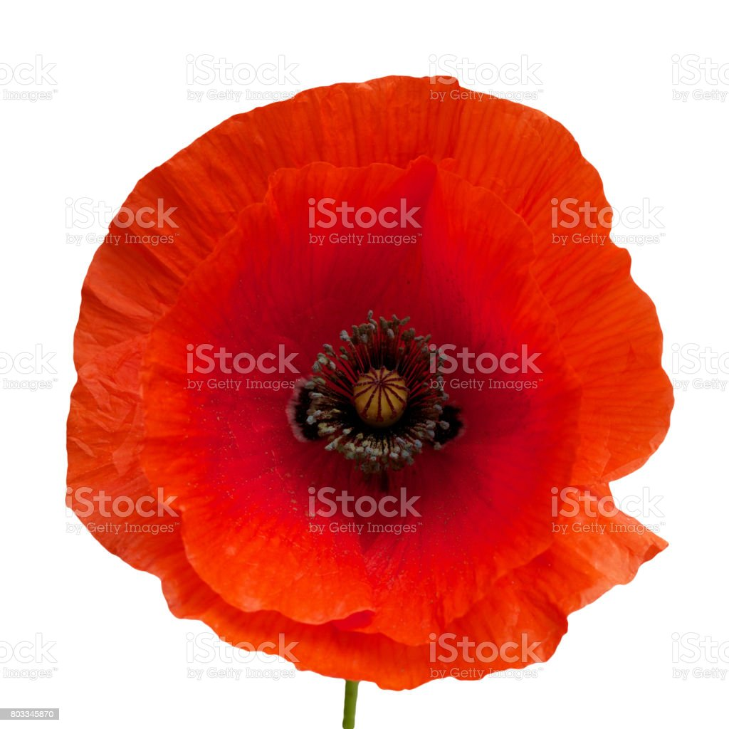 bright red poppy flower isolated on white stock photo