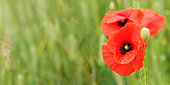 Bright red poppy flowers, petals wet from rain, growing in green field, closeup detail, space for text left side.
