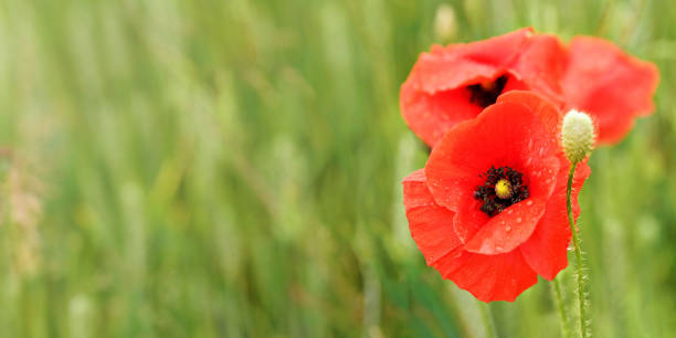 Bright red poppy flowers, petals wet from rain, growing in green field, closeup detail, space for text left side stock photo