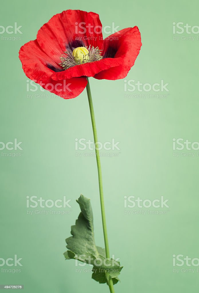 Bright red poppy's flower stock photo