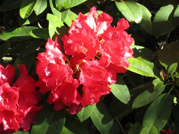 Bright Red Rhododendron stock photo