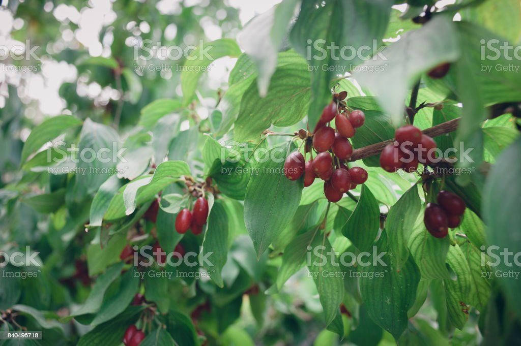 Bright red ripening fruit of the cornel bush on a sunny day in the summer garden. stock photo