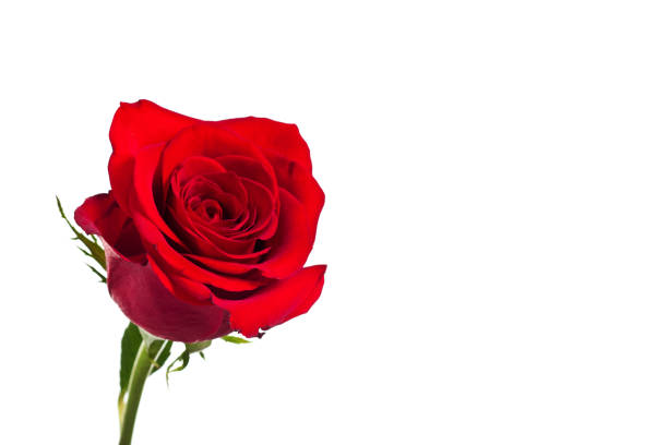 Bright red rose flower isolated on white background for decoration picture id854703180?b=1&k=6&m=854703180&s=612x612&w=0&h=cinxqvysg7ip  in1jdub0ff4rvubxbo1tbltdasosi=
