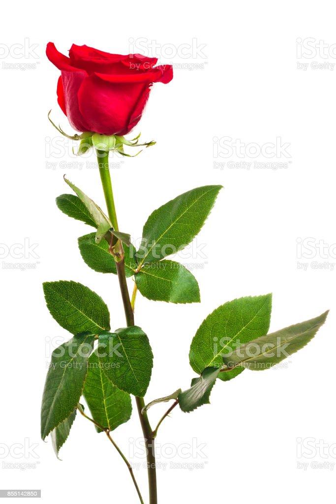 Fleur De Rose Rouge Vif Isole Sur Fond Blanc Pour La Decoration Et