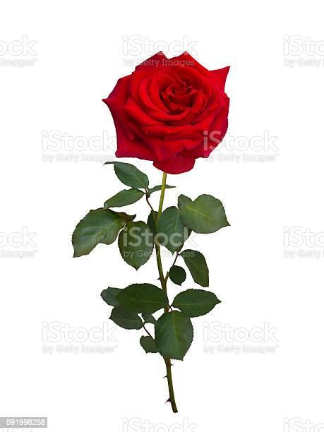 Bright red rose picture id591998258?b=1&k=6&m=591998258&s=612x612&h=fzhoqto8ga5syk788jx11je3uahvv05huhbln6xh yu=