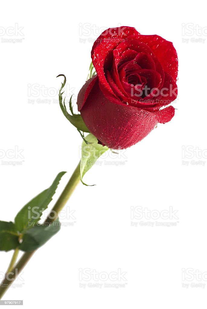 Bright red rose with water drops. royalty-free stock photo
