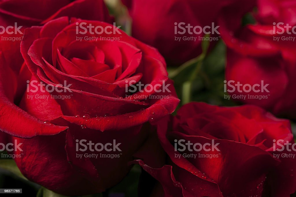 bright red roses royalty-free stock photo