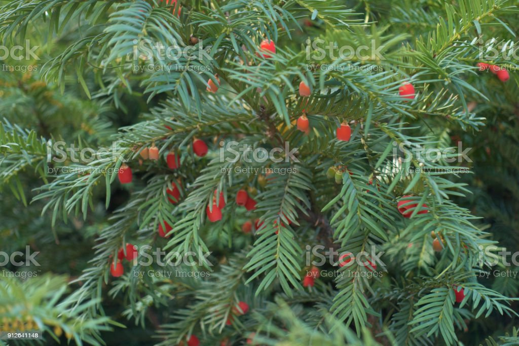 Bright red seed cones in the leafage of taxus baccata stock photo