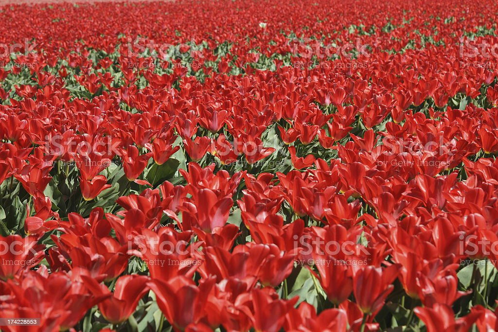 Bright red tulip field at Keukenhof gardens in The Netherlands royalty-free stock photo