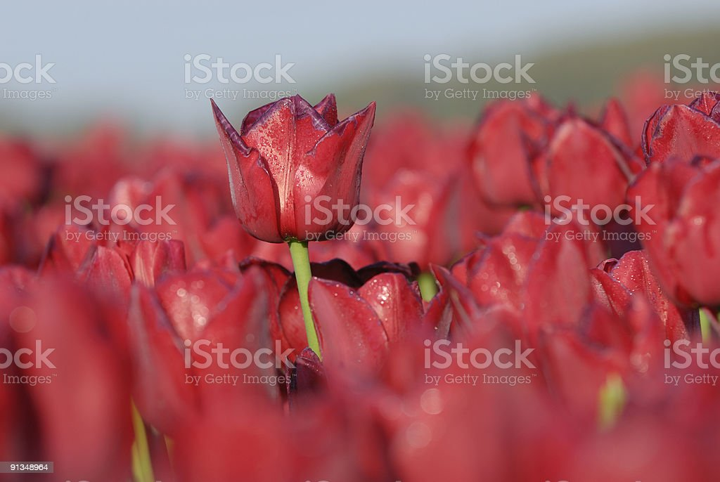 Bright Red Tulips royalty-free stock photo