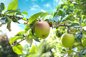 Apple growing on tree. Organic apple in natural conditions