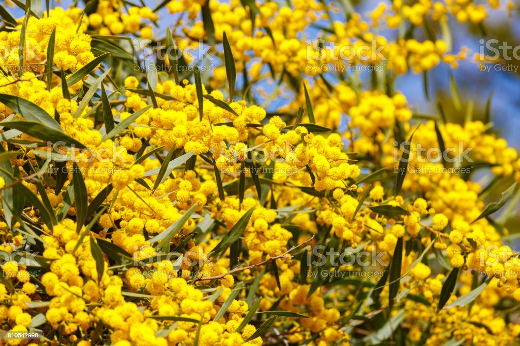 Bright ripe mimosa flowers stock photo