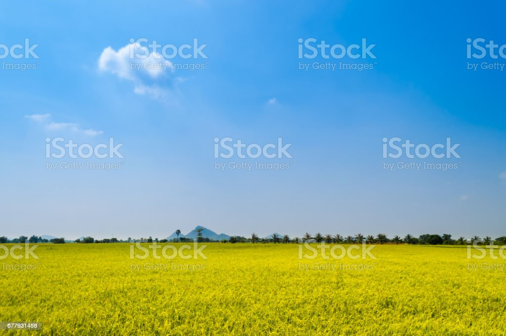 Bright ripe rice field against blue sky royalty-free stock photo