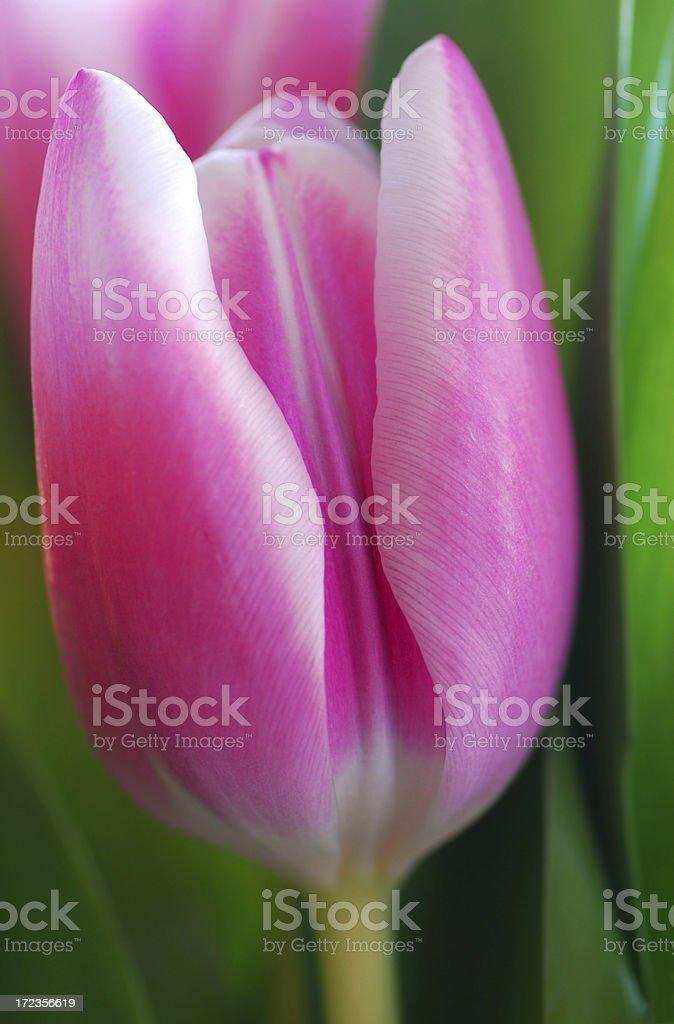 Bright Single Tulip royalty-free stock photo