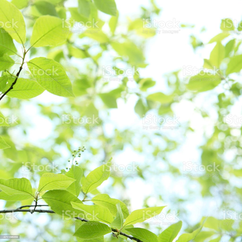 Bright sky through green Spring leaves  royalty-free stock photo