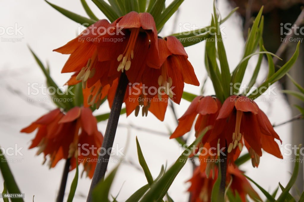Bright spring flowers - orange imperial hazel grouse Lizenzfreies stock-foto