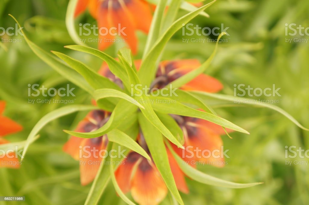 Bright spring flowers - orange imperial hazel grouse foto de stock royalty-free