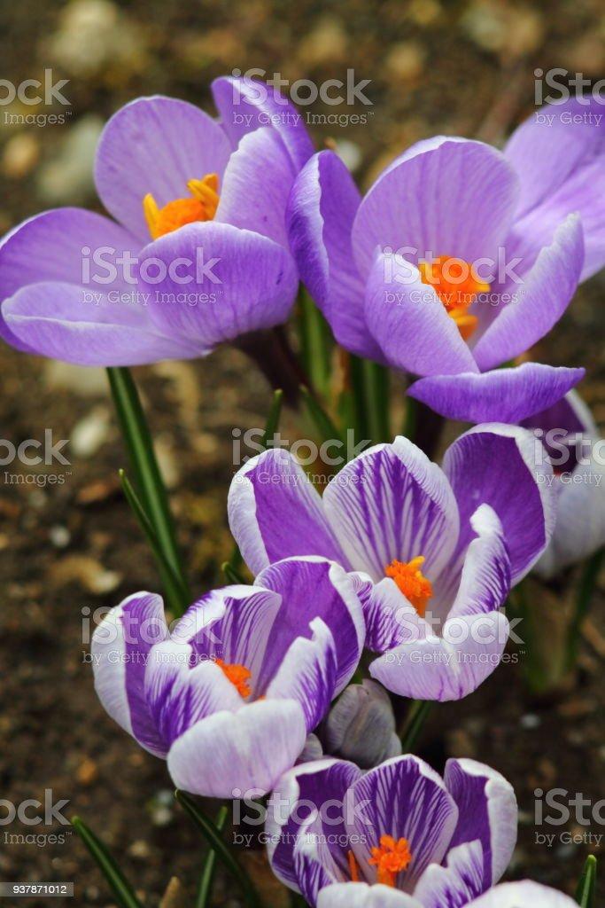 Bright striped violet crocus flowers. stock photo