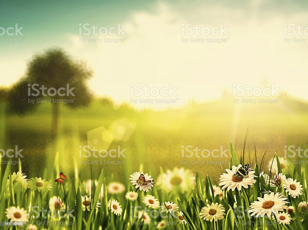 Bright summer afternoon. Natural backgrounds with beauty chamomi stock photo