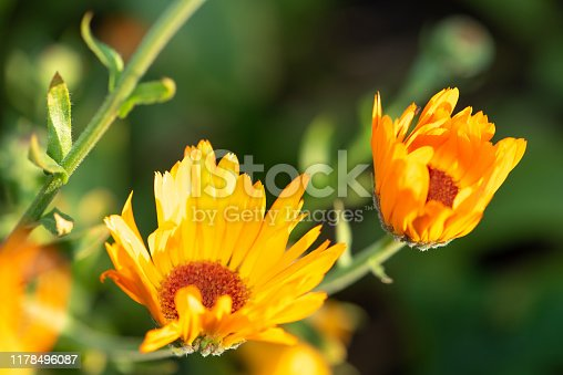 Bright summer background with growing orange flowers calendula, marigold. Selective focus, blurred nature green background.