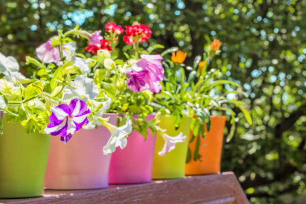 Bright summer flowers in colorful flowerpots backlit stock photo