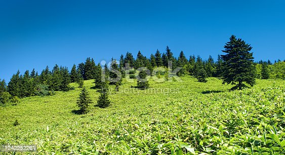 Bright summer sunny day with green fresh grass and fir trees. Kunashir island, Kurils islands, Russia