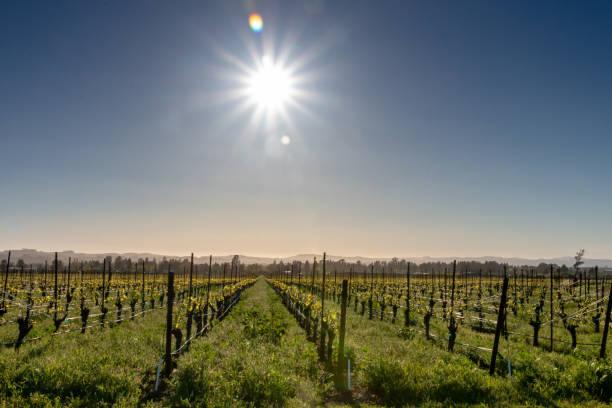 Bright sun over vineyard stock photo