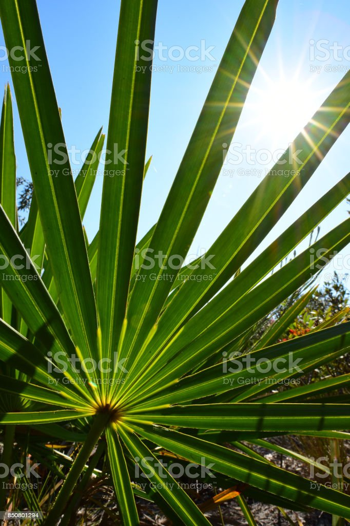 Bright sun rays shining through Saw Palmetto frond stock photo