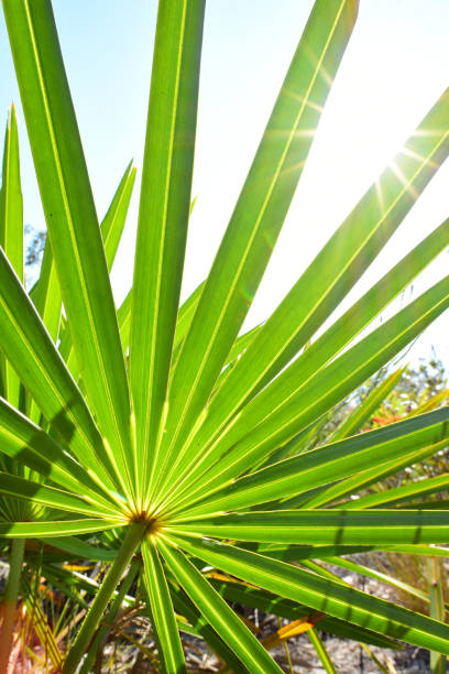 royalty free saw palmetto pictures images and stock photos istock