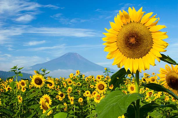 ヒマワリの山 - 4117872 ストックフォトと画像