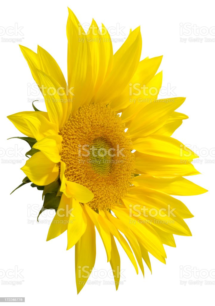 Bright Sunflower with Path royalty-free stock photo