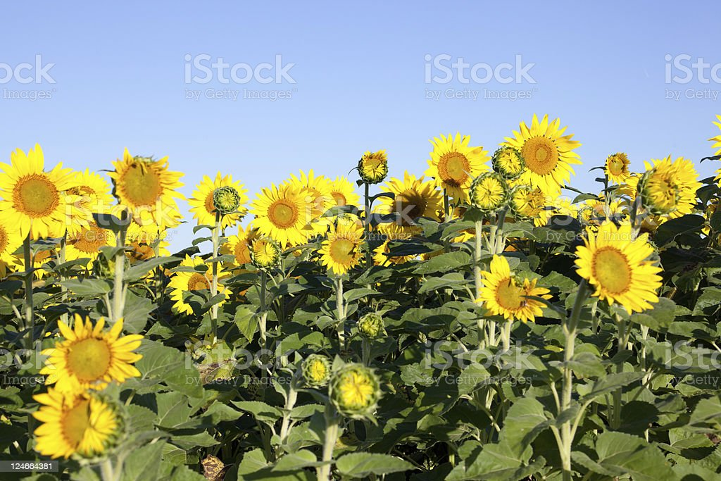 Bright Sunflowers royalty-free stock photo