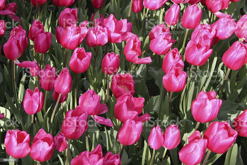 Bright sunlight on tulips royalty-free stock photo
