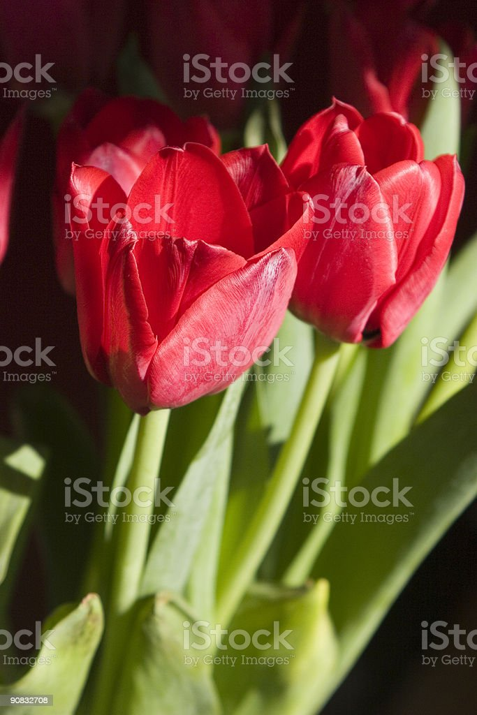 Bright Tulips royalty-free stock photo